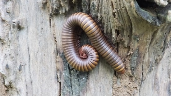 Jungle millipede