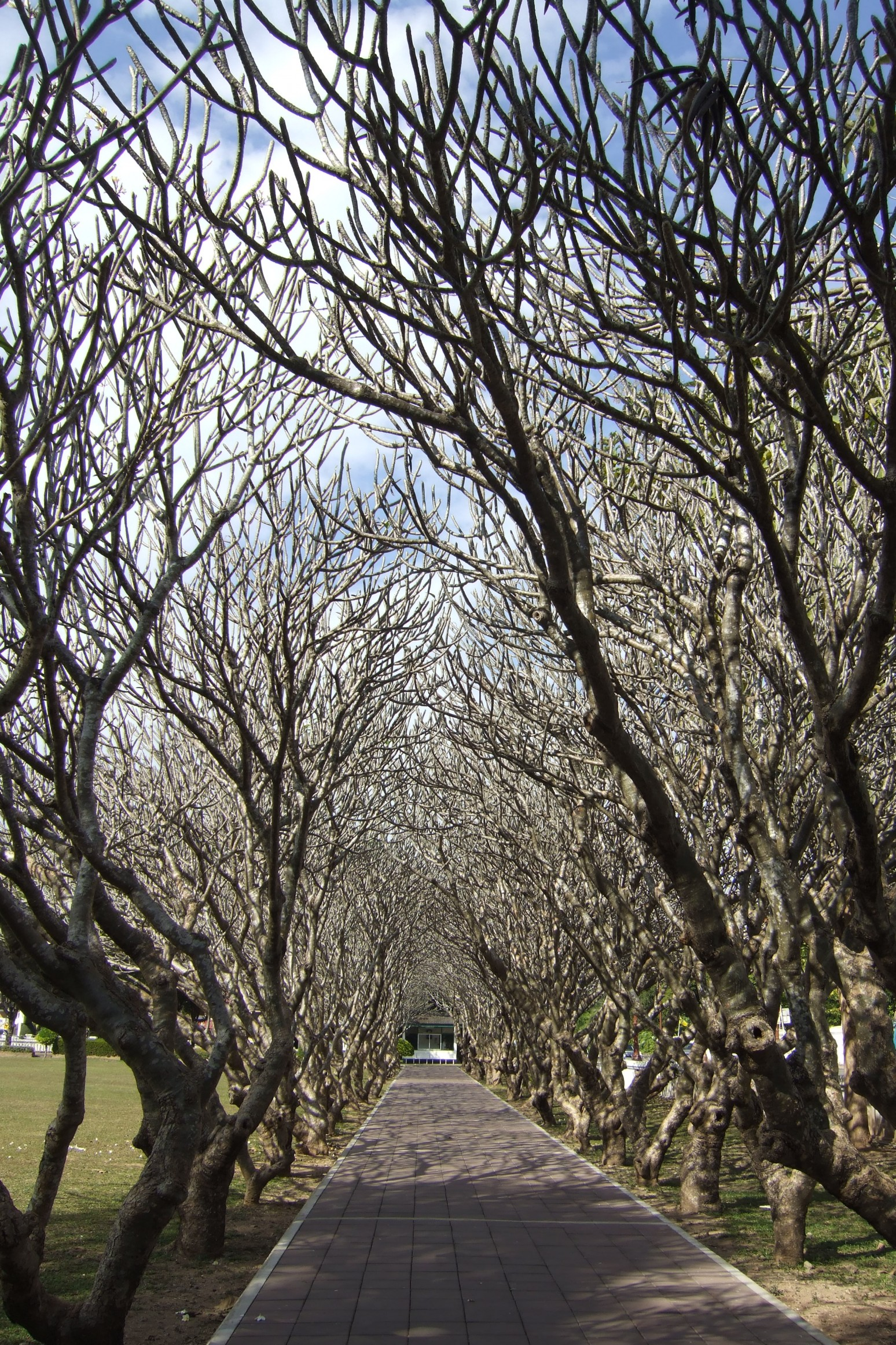 Frangipani trees arch, Nan province, Thailand