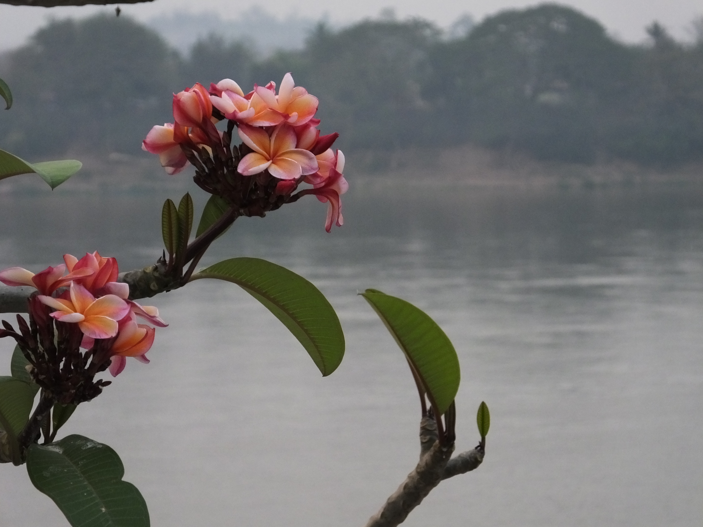 Flowers along the Mekong River