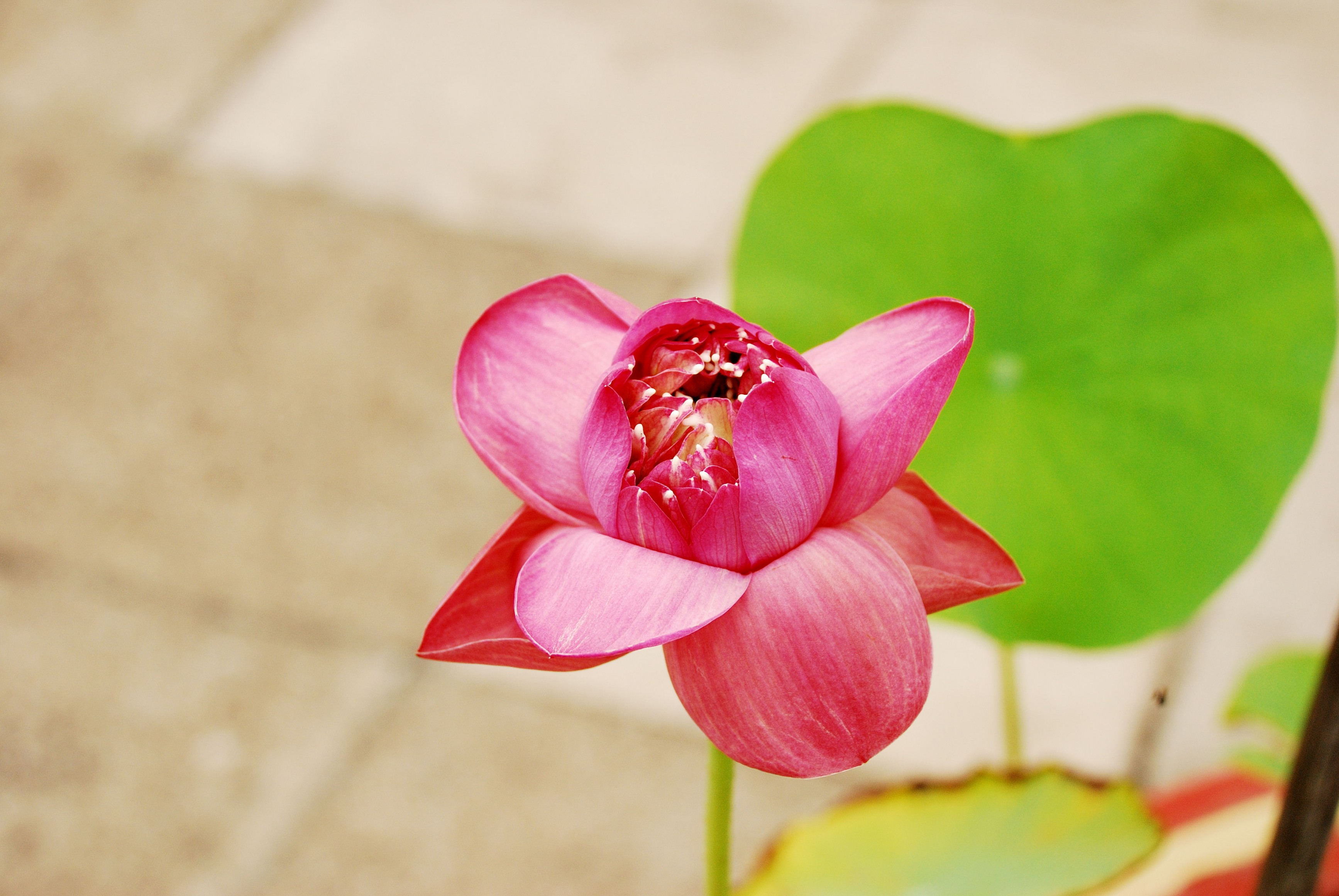 Lotus bloom and the sun