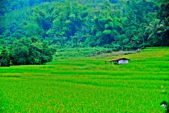Rice fields and small hut
